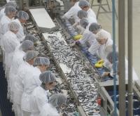 Darbas žuvies fabrike Anglijoje