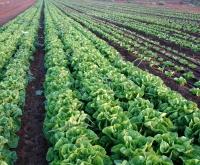 Darbas Anglijoje žemės ūkyje (be kalbos)