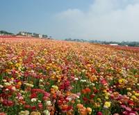 Gėlių skynimo darbai Anglijoje