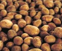 Siūlo darbą bulvių sandėliuose